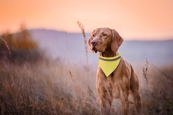 Reflexní Obojek Pro Psy Bipols - Žlutá